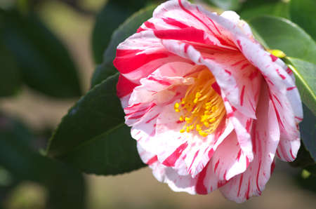 white and pink camellia photo