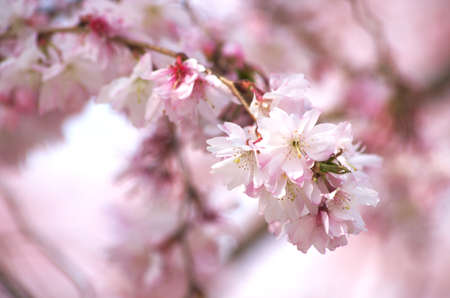 pink cherry blossom Stock Photo - 18694340