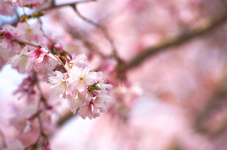 pink cherry blossom Stock Photo - 18694330