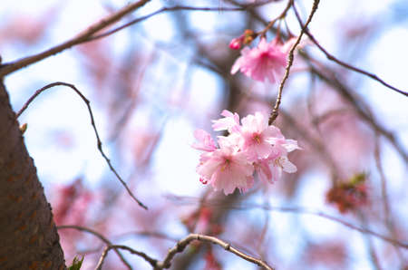 pink cherry blossom Stock Photo - 18694338