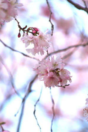 pink cherry blossom Stock Photo - 18694336