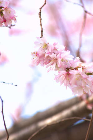 pink cherry blossom Stock Photo - 18694334