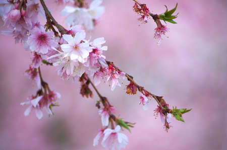 pink cherry blossom Stock Photo - 18694337