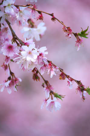pink cherry blossom Stock Photo - 18694343
