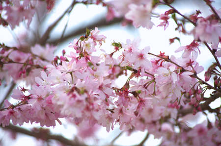 pink cherry blossom Stock Photo - 18694335