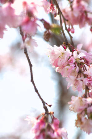 pink cherry blossom Stock Photo - 18694329
