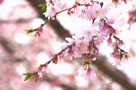 cute pink cherry blossom photo