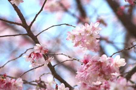 pink cherry blossom Stock Photo - 18694333