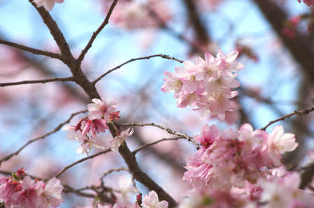 cute pink cherry blossom Stock Photo - 18690962