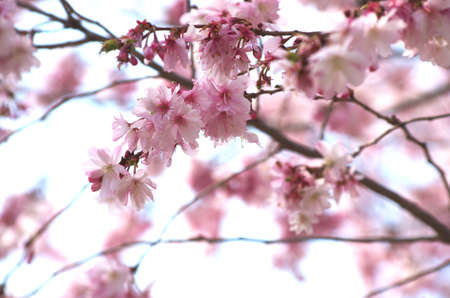 cute pink cherry blossom Stock Photo - 18690922