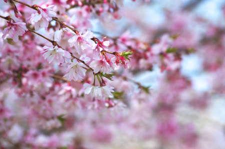 cute pink cherry blossom Stock Photo - 18691016