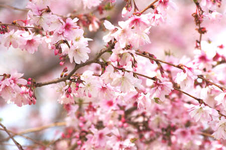cute pink cherry blossom Stock Photo - 18691026