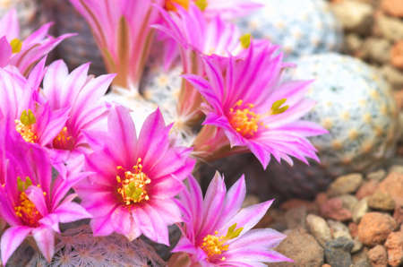 vivid pink cactus flower photo