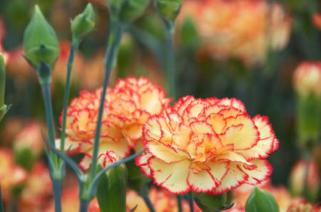 orange and pink carnation photo