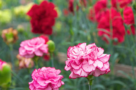red and white carnation flowers photo