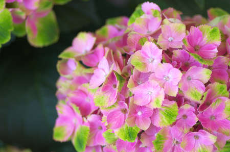 pink and green hydrangea photo
