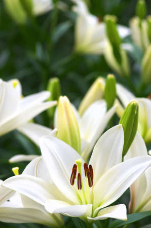 white lily flower field Stock Photo - 20017333