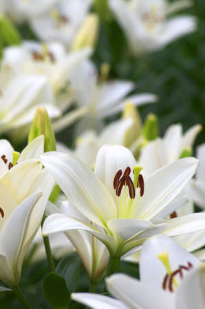 white lily flower field Stock Photo - 20017226