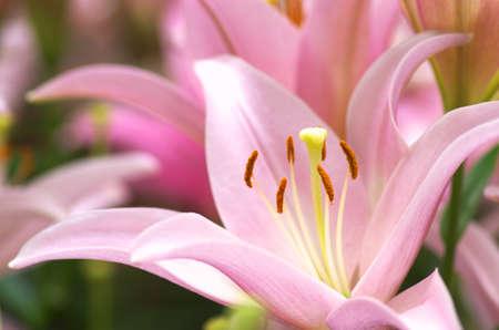 cute pink lily flower garden Stock Photo - 19976771