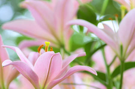 cute pink lily flower garden photo