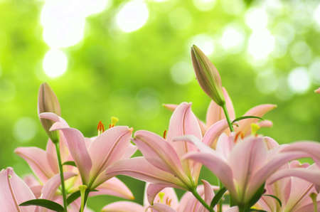 cute pink lily field photo