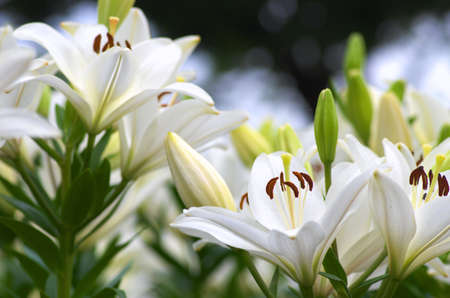 white and green gradation lily flowers photo