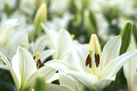 white lily flower garden photo
