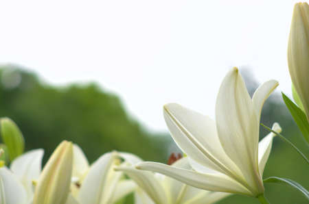 white lily flower garden Stock Photo - 19976661