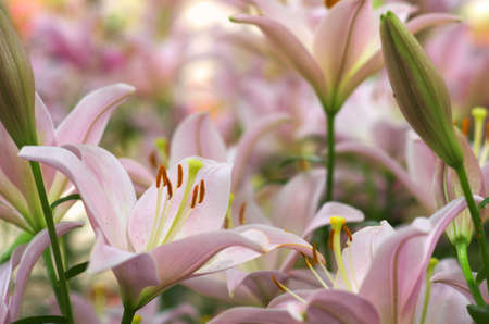 pink and white gradation lily flower Stock Photo - 20022198