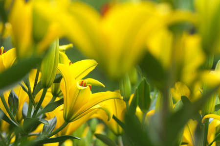 energetic yellow lily flowers Stock Photo - 20022508