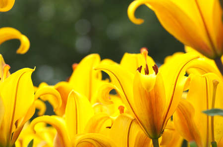 powerful yellow lily flowers photo