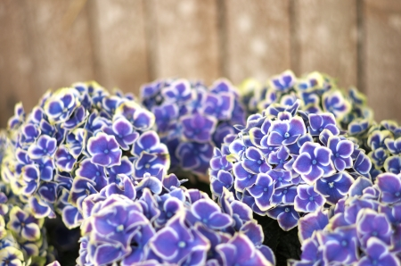 blue and white hydrangea photo