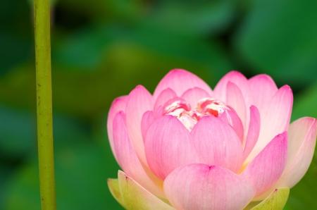 pink and white lotus photo