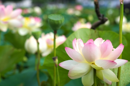 pink and white lotus Stock Photo - 20693441