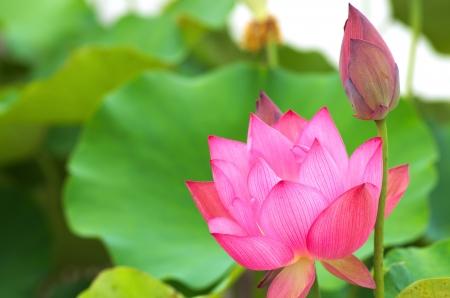 cute pink lotus Stock Photo - 20695139