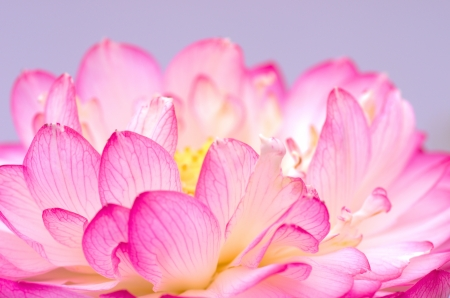 cute white and pink lotus flower photo