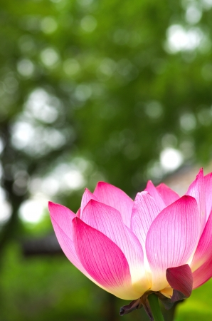 white and pink lotus flowers photo