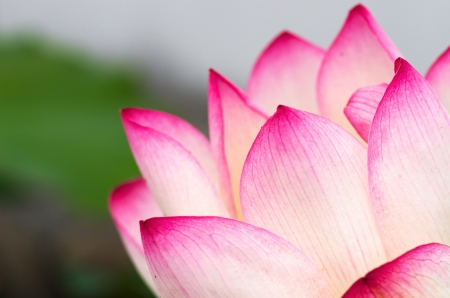 white and pink lotus flowers Stock Photo - 20693513