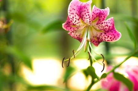 cute pink lily flower photo