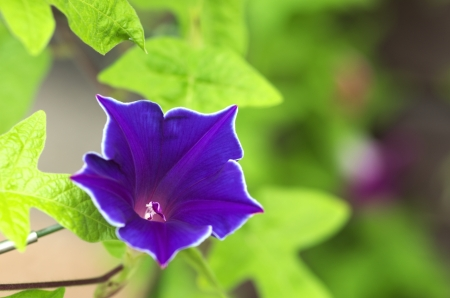 vivid blue morning glory photo