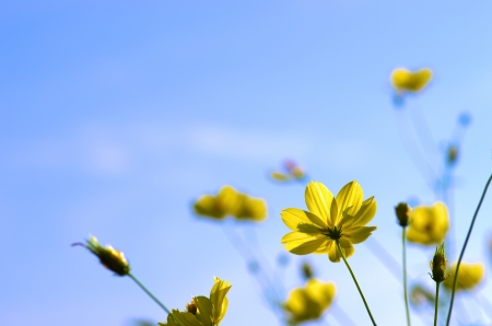 vivid yellow cosmos under blue sky photo