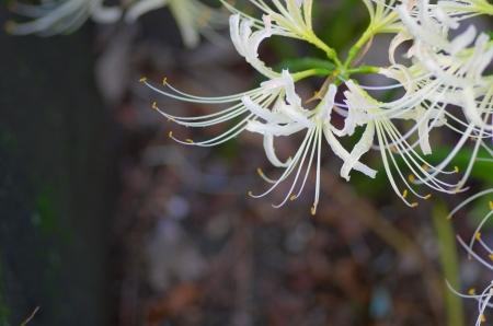 white lycoris photo