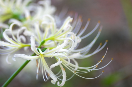white lycoris photo