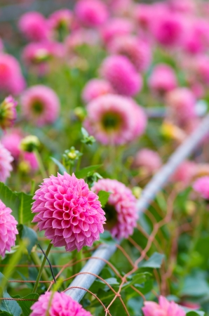 pink and white dahlia flower photo