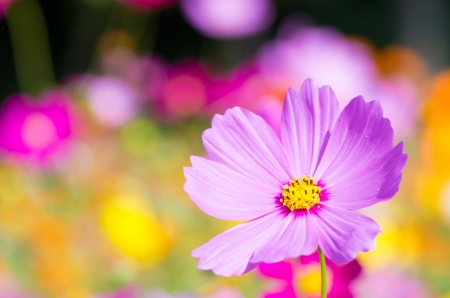 colorful cosmos flower in garden photo