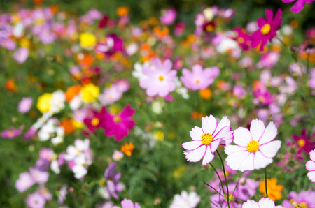 white and pink colorful cosmos flowers photo