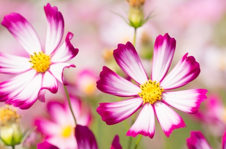 white and pink cosmos flower photo