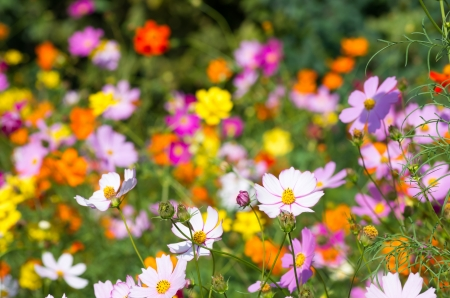 colorful cosmos flower garden photo
