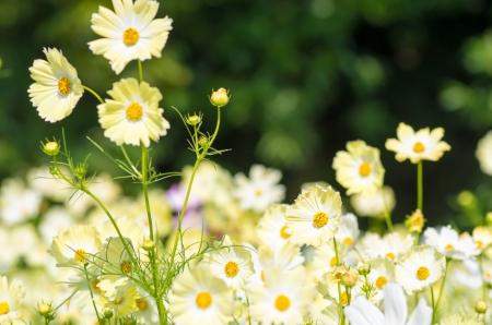 yellow cosmos flower garden photo