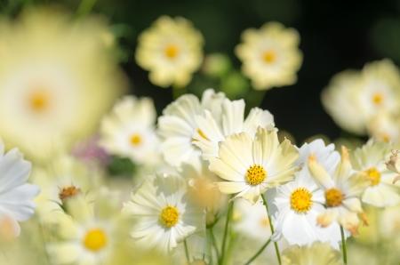 cute yellow cosmos flower garden photo